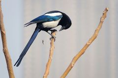 Pied magpie Stock Photo