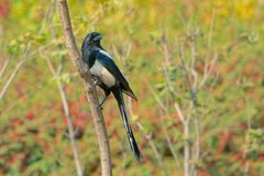 Pied magpie royalty free stock photography