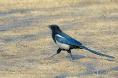 Pied magpie. A pied magpie is walking on winter grassland. Scientific name: Pica pica Stock Images