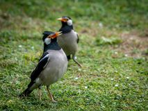 Pied myna or asian pied starling Gracupica contra Stock Photo