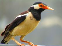 The pied myna or Asian pied starling Gracupica contra is a species of starling mostly found in the India. stock photos