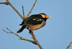 Pied myna royalty free stock photography