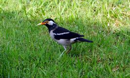 A pied myna on the green grass. The pied myna is found in the Indian subcontinent and Southeast Asia Royalty Free Stock Photo