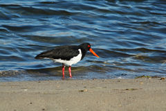 Pied Oystercatcher royalty free stock photography