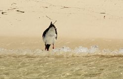 Pied Oystercatcher Royalty Free Stock Image