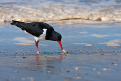 Pied Oystercatcher Stock Photos