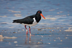 Pied Oystercatcher Stock Image