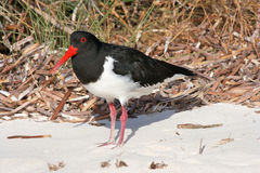 Pied Oystercatcher Royalty Free Stock Images