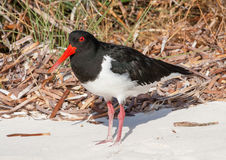 Pied Oystercatcher Stock Images