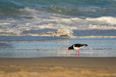 Pied Oystercatcher bird in black white with long red orange bill Royalty Free Stock Images