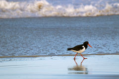 Pied Oystercatcher bird in black white with long red orange bill Stock Photos