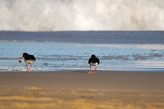 Pied Oystercatcher birds in black white with long red orange bil Stock Photos