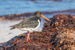 Pied Oystercatcher Stock Photography