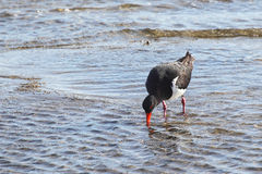 Pied Oystercatcher (Haematopus longirostris) Stock Photos