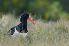 Pied Oystercatcher (Haematopus longirostris) Royalty Free Stock Photography