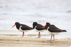 Pied Oystercatcher (Haematopus longirostris) Stock Photo