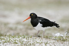 Pied oystercatcher, Haematopus longirostris Royalty Free Stock Images