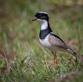 Pied Plover Pied Lapwing, Hoploxypterus cayanus Royalty Free Stock Photo