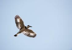pied rudis för cerylekingfisher Royaltyfri Bild
