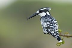 pied söder för africa kingfisher Arkivfoto