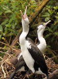 Pied Shag Calling. A Pied Shag calling loudly from its nest Royalty Free Stock Image