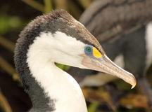 Pied Shag Portrait Royalty Free Stock Image
