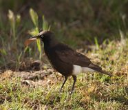 Pied Starling Stock Images
