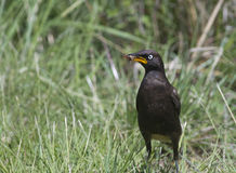 Pied Starling and bug Stock Photography