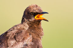 Pied starling closeup portrait Royalty Free Stock Photos