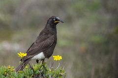 Pied starling. On perch in fynbos vegetation, endemic to South African and Swaziland Royalty Free Stock Photo