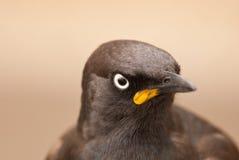 Pied Starling Stock Photos