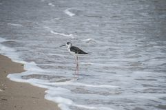 Pied stilt bird Himantopus leucocephalus. Pied white-headed stilt bird Himantopus leucocephalus on sand beach water line royalty free stock images