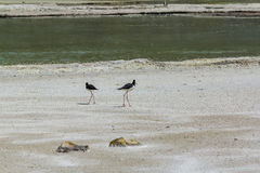Pied Stilt birds in Wai-O-Tapu Geothermal Wonderland, Rotorua, New Zealand. Birds at harsh environment royalty free stock photo