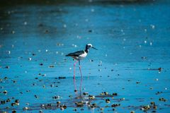 Pied stilt. Close up of pied stilt foraging in estuary at low tide royalty free stock photo