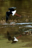 Pied Stilt in flight Royalty Free Stock Photography
