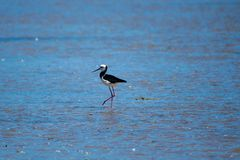 Pied Stilt. Lone pied stilt foraging in estuary at low tide royalty free stock photos
