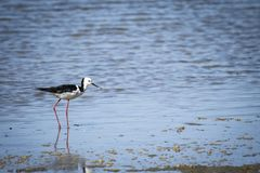 Pied Stilt is a small delicate distinctive black and white bird with very long legs and a long fine black bill royalty free stock photography