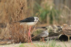 Pied stilt Royalty Free Stock Photography
