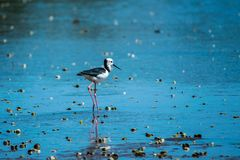 Pied stilt obrazy stock