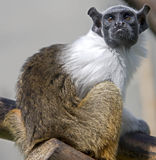 Pied tamarin 1 Stock Photography