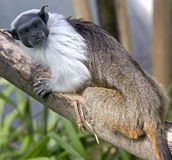 Pied tamarin 2 Stock Photos