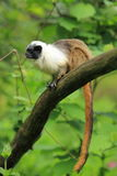 Pied tamarin. The adult pied tamarin sitting on the branch Stock Photos