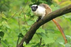 Pied tamarin. Sitting on the tree Royalty Free Stock Photos