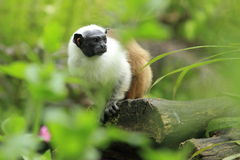 Pied tamarin. Sitting on the trunk Royalty Free Stock Photos