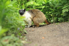 Pied tamarin. Standing on the soil Royalty Free Stock Image