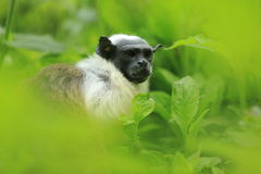 Pied tamarin. The upper body of pied tamarin hidden among the green leaves Stock Photography
