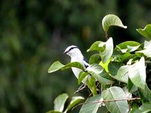 Pied Triller, Lalage nigra som sätta sig på ett Rambutanträd royaltyfria foton