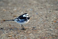 A Pied Wagtail Stock Photography