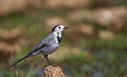 Pied Wagtail. On top of rock watching around royalty free stock image