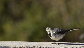 Pied Wagtail. Young pied wagtail is perching on a piece of rock royalty free stock photo
